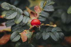 Beautiful red rosehip berries in the garden. On a  blurred background Royalty Free Stock Photo
