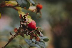 Beautiful red rosehip berries in the garden. On a  blurred background Royalty Free Stock Image