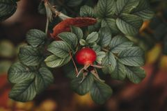 Beautiful red rosehip berries in the garden. On a  blurred background Stock Photo