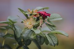 Beautiful red rosehip berries in the garden. On a  blurred background Stock Image