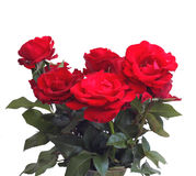 Beautiful red roses. Stock Photo