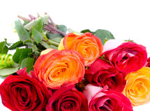 Beautiful red roses Royalty Free Stock Photo