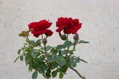 Beautiful red roses Stock Image