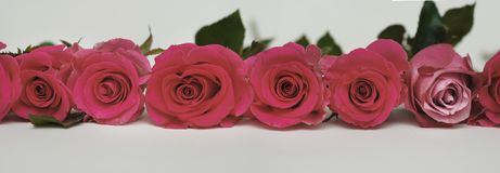 Beautiful Red Roses Arranged in Line Isolated on White. Banner. Beautiful Roses Arranged in Line Isolated on White. Banner stock photo