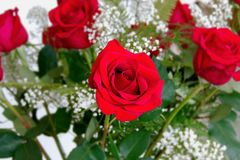 Beautiful Red Roses Rosaceae Rosoideae Rosa Arranged with White Baby`s Breath for Valent. Ines Day. Several flowers with center flower in focus Stock Photos