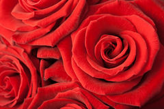 Beautiful red roses background Stock Images
