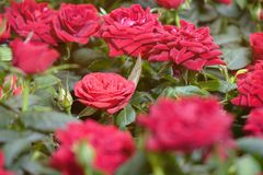 Beautiful red roses. The flowers in the garden. Wallpaper Royalty Free Stock Images
