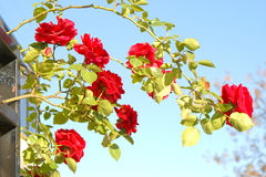 Beautiful red roses on blue sky. And green leaves Royalty Free Stock Photography