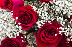 Beautiful red roses Royalty Free Stock Image