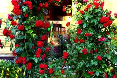 Beautiful red roses bush  summer house background Royalty Free Stock Image