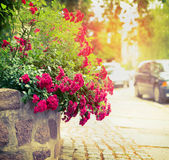 Beautiful red roses bush in sunlight on city ​​street background Royalty Free Stock Images