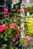 Beautiful, red roses decorating outside of the house. In the summer Royalty Free Stock Photos