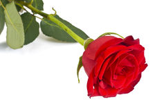 Beautiful Red Roses Flower Isolated on White Royalty Free Stock Images