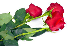 Beautiful Red Roses Flower Isolated on White Stock Photos