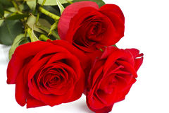 Beautiful Red Roses Flower Isolated on White Royalty Free Stock Photo