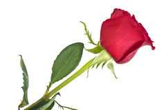 Beautiful Red Roses Flower Isolated on White Stock Photography