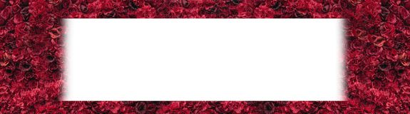 Beautiful red roses. Flower wall. Close-up of huge red roses. Place for text royalty free stock photo