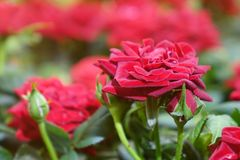 Beautiful red roses. The flowers in the garden. Wallpaper Stock Photo