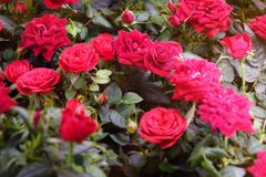Beautiful red roses. The flowers in the garden. Wallpaper Stock Photos