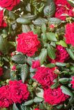 Beautiful red roses. The flowers in the garden. Wallpaper Stock Image