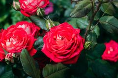 Beautiful red roses in the garden royalty free stock photography