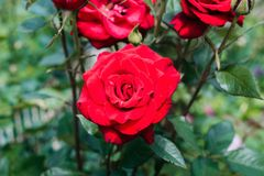 Beautiful red roses in the garden stock photos