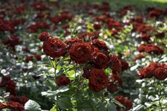 Beautiful red roses garden with more blured roses in background. Beautiful red roses garden with more blured roses in the background Stock Photos