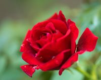 Beautiful red roses. In the garden with rain drops of water on the green leaf. Bouquet of roses for Valentine Day - outdoors Stock Photography