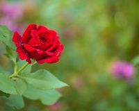 Beautiful red roses. In the garden with rain drops of water on the green leaf. Bouquet of roses for Valentine Day - outdoors Royalty Free Stock Image