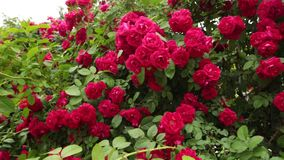 Beautiful red roses in garden for Valentine Day. Dolly shot stock video