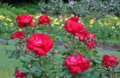 Beautiful red roses garden Royalty Free Stock Photo