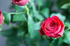 Beautiful red Roses on a Green Background Stock Photography