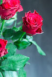Beautiful Red Roses on Grey Background, Close-up Stock Photo