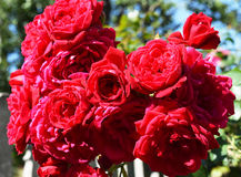 Beautiful red roses. Inflorescence roses blooming in the summer garden Royalty Free Stock Photos