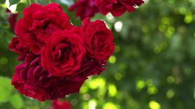 Beautiful red roses stock footage