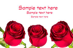 Beautiful red roses. Over white background Royalty Free Stock Photos