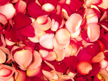 Beautiful Red Roses Petal Background Stock Images