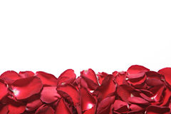 Beautiful red roses petals  on white background. Valentine's Day Stock Photography