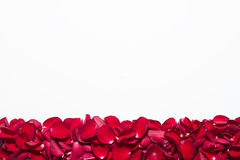 Beautiful red roses petals  on white background. Valentine's Day, anniversary etc background. Stock Photos