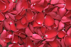 Beautiful red roses petals  on wooden. Valentine's Day, annivers Royalty Free Stock Images