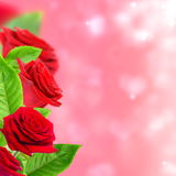 Beautiful red roses. Royalty Free Stock Images