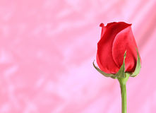 Beautiful red roses.pink background. Stock Photos
