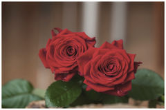 Beautiful red roses. Retro style. With place for your text, background use, all occasions Royalty Free Stock Photo