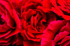 Beautiful red roses for romatic background Stock Images