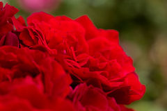 Beautiful red roses for romatic background Stock Photography