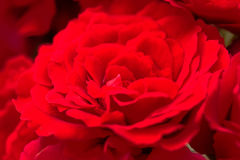 Beautiful red roses for romatic background Royalty Free Stock Photography