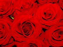 Beautiful Red roses shining at our eyes royalty free stock photo