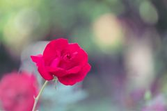 Beautiful red roses in spring in the garden.  Royalty Free Stock Photo