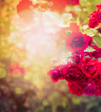 Beautiful red roses on sunny nature background of garden or park foliage Royalty Free Stock Photography