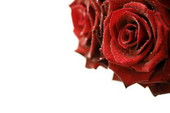 Beautiful Red Roses with water droplets Royalty Free Stock Photos